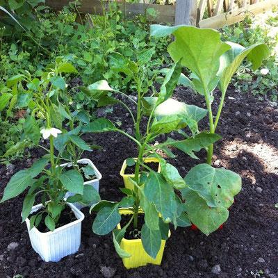 plants, poivrons, aubergine