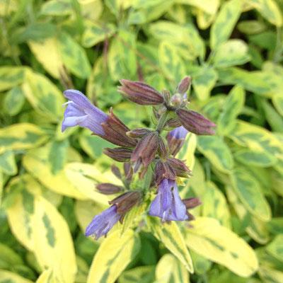 Potager, Gap, Hautes Alpes, kitchen garden, fleurs, sauge
