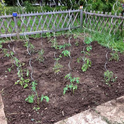 Potager, Gap, Hautes Alpes, plants, tomates