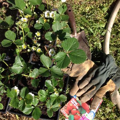fraisiers, potager, Gap, Hautes-Alpes
