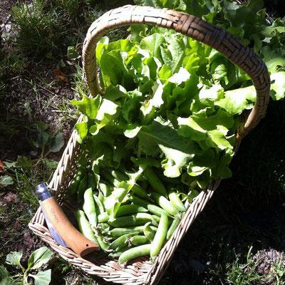 récolte, salade, pois