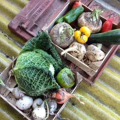 Potager, récolte, Gap, Hautes Alpes, cebettes, panais, courgettes, tomates, poivrons, choux