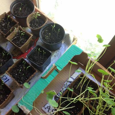 semis, panais, capucines