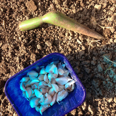 gousses d'ail, semis, potager, Gap, Hautes-Alpes