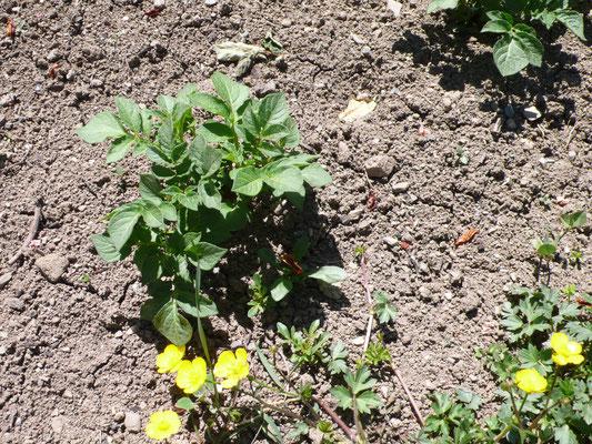 Potager, Kitchen garden, Gap, Hautes Alpes, semis, Pommes de Terre