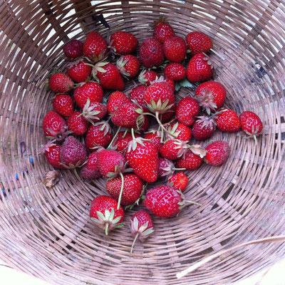 récolte, fraises