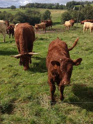 Cantal, veaux, vaches, race de Salers