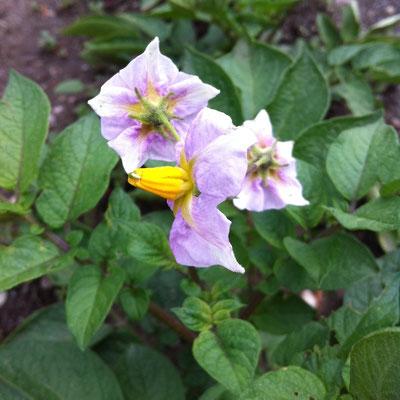 fleurs, pomme de terre