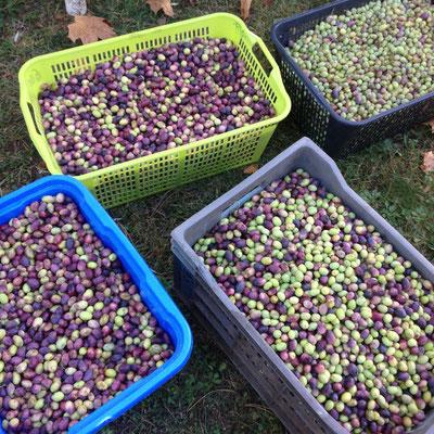 olives, récolte, Aiglun, Haute Provence