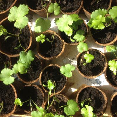 Potager, Kitchen Garden, Gap, Hautes Alpes, semis, panais