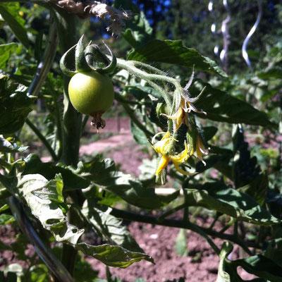 plant, fleurs, tomates