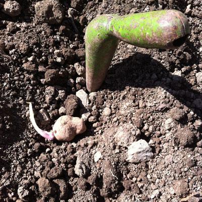 Potager, semence, pomme de terre