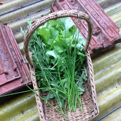 Potager, Gap, Hautes Alpes, récolte, salade, ciboulette, estragon