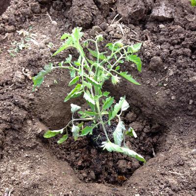 Potager, Gap, Hautes Alpes, plant, tomate