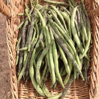 Potager, kitchen garden, Hautes Alpes, Gap, récolte, haricots