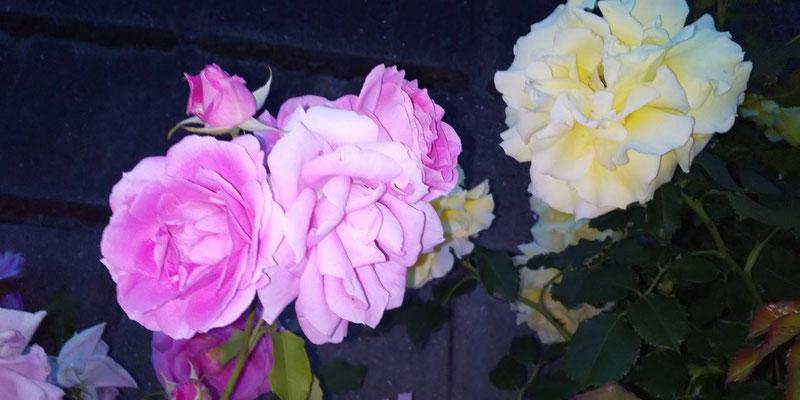ピンクと白のバラ写真素材無料ダウンロード・商用利用可