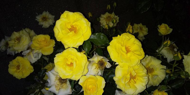 黄色のバラ写真素材無料ダウンロード・商用利用可