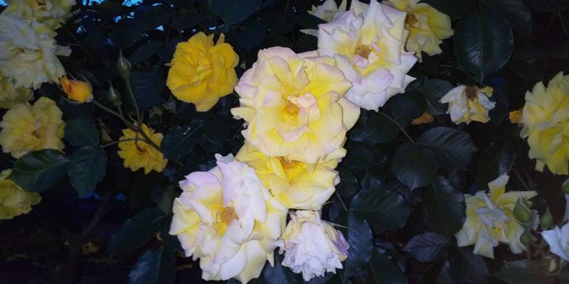白っぽい黄色のバラ写真素材無料ダウンロード・商用利用可