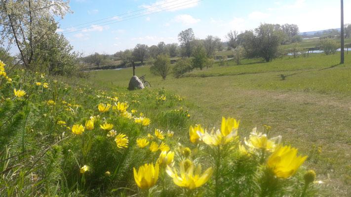 Adonisröschen auf den Oderhängen bei Lebus