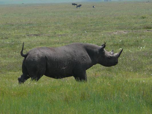 Nashorn im Ngorongoro Krater