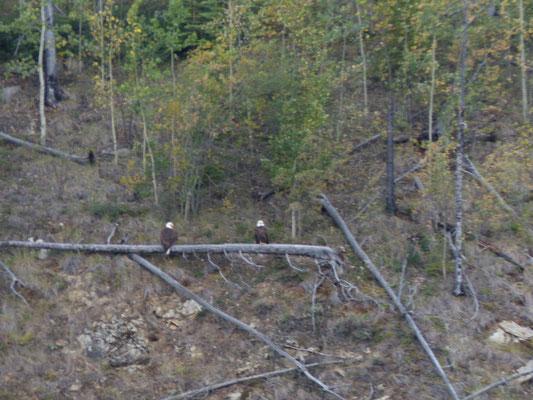 Weißkopfseealder am Yukon