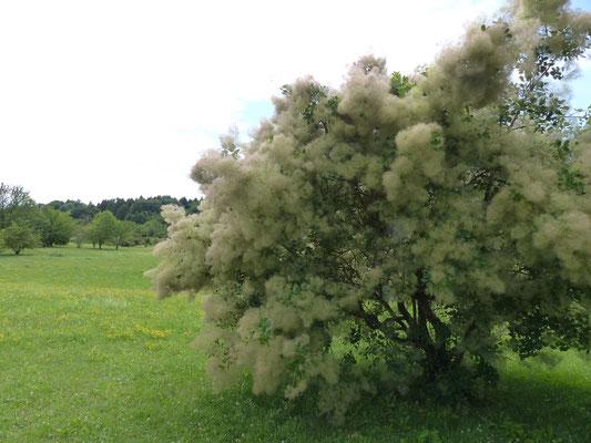 Perückenbaum im botanischen Garten von Ulm