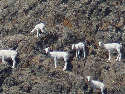Bergziegen am Yukon