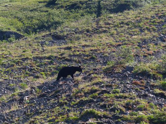 Schwarzbär im Kluane NP