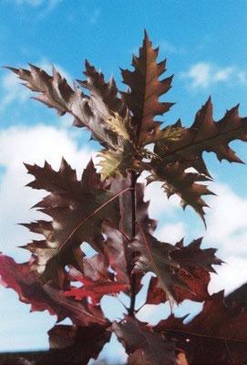 Grün bis rote Blätter Aug. - Dez.