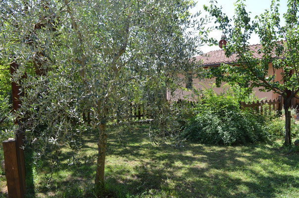Oliv trees