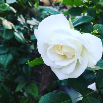 廿日市 庭 ガーデニング 花 お庭づくり 小さい庭 ばら アイスバーグ
