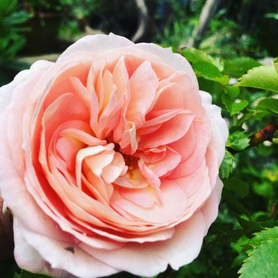 廿日市 庭 ガーデニング 花 お庭づくり 小さい庭 ばら