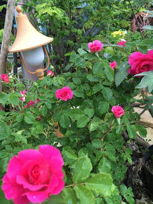 廿日市 庭 ガーデニング 花 お庭づくり 小さい庭 ばら うらら