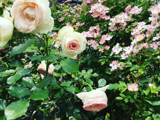 薔薇 バラ ばら バラのある暮らし 広島 廿日市 三原市