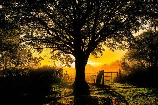 Le chêne au lever du soleil