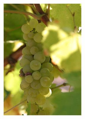 Peter: Wein