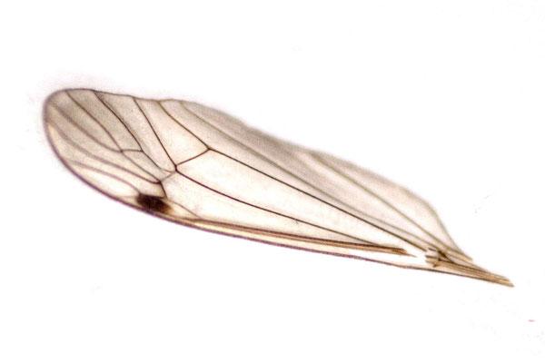 Kirsten: Flügelchen