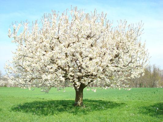 Wunderschön blühender Kirschbaum