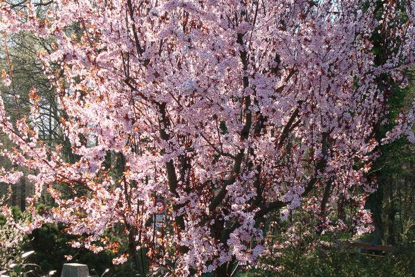 Japanischer Kischbaum