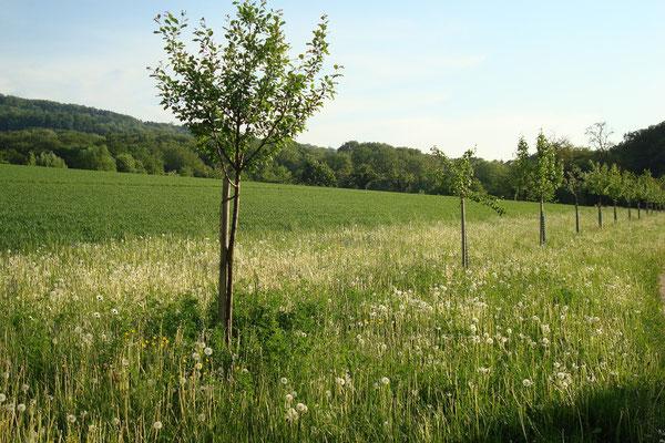 Spezielle alte Sorten von Hochstammbäumen