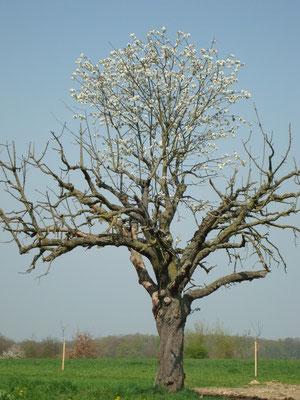 Ganz spezieller Kirschbaum