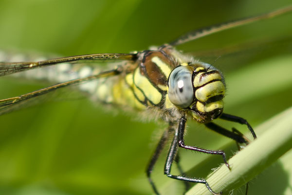 Keizer Libelle 1