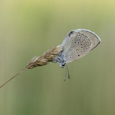 Donker Pimpernelblauwtje 1
