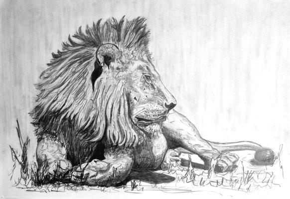 King of Lion Botswana Bleistift auf Papier 40 x 30 cm