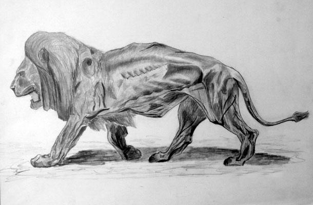 Der einsame Löwe Anatomiestudie Bleistift auf Habkarton 60 x 40 cm