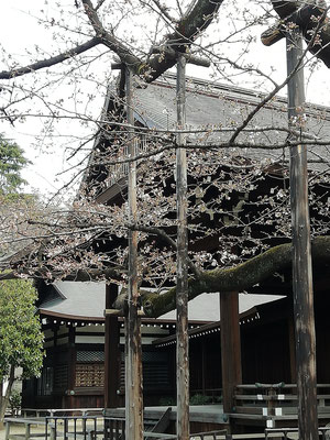 Cherry Blossoms in Yasukuni Shrine
