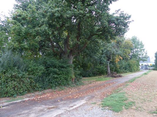 Mostbirnenbaum bei der Teichanlage