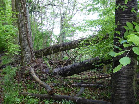 Bannwald am Waldrand des Herrenwaldes  Mai 2015
