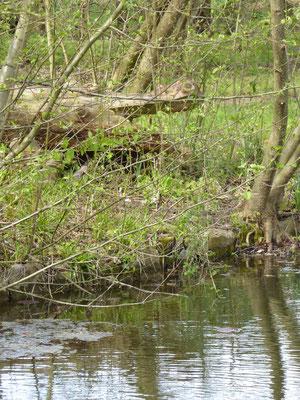 Ein Krokodil bewacht den Teich  (April 2016)