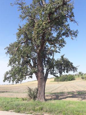 Naturdenkmal-Mostbirnenbaum-August 2018